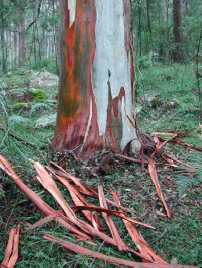 Save The River Red Gum