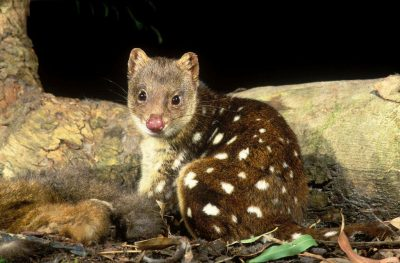 Spotted-tailed Quoll Project
